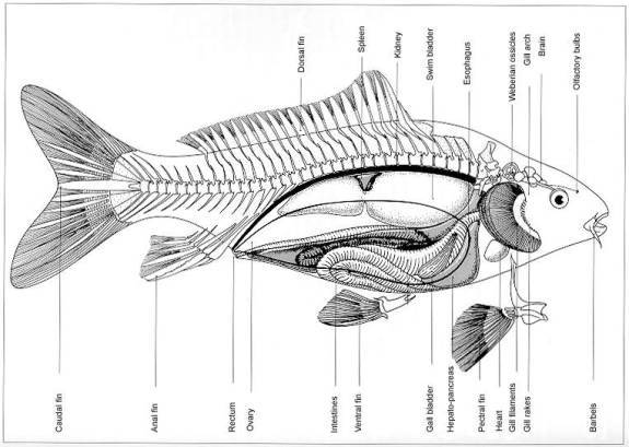 Fish Internal Organs Diagram http://sketchyard.lh.pl/wp-admin/fish-organ-diagram
